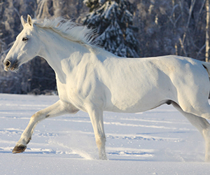 The horse has been one of the most consistent companions and oldest domesticated animal, known to humankind for centuries. Horses have been part of the folk stories since time immemorial and have always been figured as one of the bravest allies of warriors.