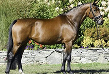 American Warmblood