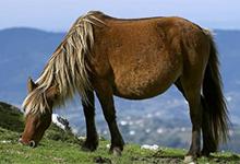 Asturcon Horse