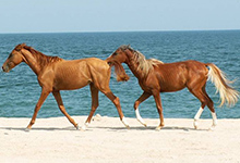 Azerbaijan Horse