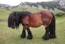 Basque Mountain Horse