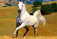 Beautiful White Horse 6x6