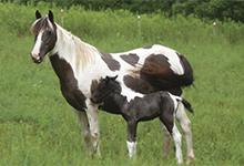 Choctaw Horse