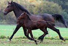 Cleveland Bay Horse