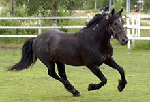 Colblood Trotter Horse