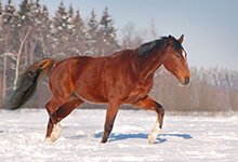 Danish Warmblood Horse