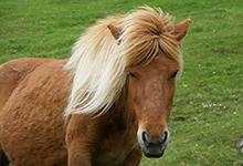 Faroe Horse