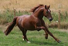 Frederiksborger Horse