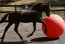 Friesian Horse Plays Football