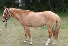 Galiceno Horse