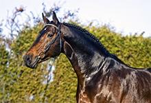 Holsteiner Horse