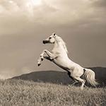 Horses through the history