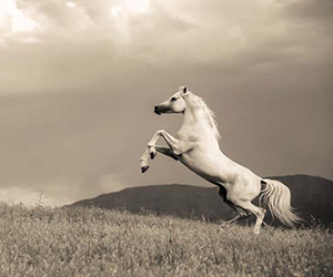 Just as the man went through a series of phases in his evolutionary development, the horse too had to go through various changes in the history of the evolution to the form that is known today.