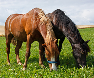 A horse that lives free in the wild can eat 16 hours a day. On the other hand, horses that live in stable are fed 3 times a day and drink 40 liters a day. A horse in nature will eat slowly, selecting his food, including various vegetable foods, flowers, leaves, roots etc.