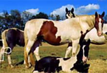 Paint Horse Club 6x6