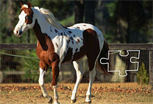 Pinto Horse 6x6