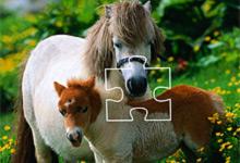 Shetland Pony 6x6