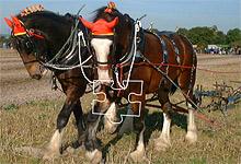 Shire Horses 6x6