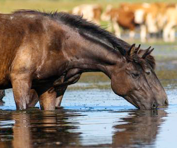 When it comes to the health of your horse, the most important things are blood pressure, blood sugar level, body temperature, and the water balance, just as in humans. This time, we would like to introduce you to the heating problems of horses a bit more deeply, highlighting the crucial role of hydration in the processes of heat regulation.