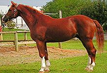 Westphalian Horse Jigsaw 6x6
