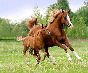 Why not think about breeding even if you are not sure about many things? How beautiful would it be to have such a great horse! But this is not so easy in reality, though. Before you decide to make this step, read all related information carefully, ask your veterinarian for an opinion and contact the appropriate breeding organizations.