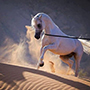 Gorgeous White Horse in the Desert - Free Horse Image