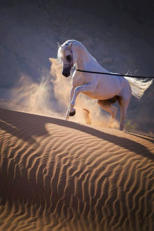 Gorgeous White Horse in the Desert