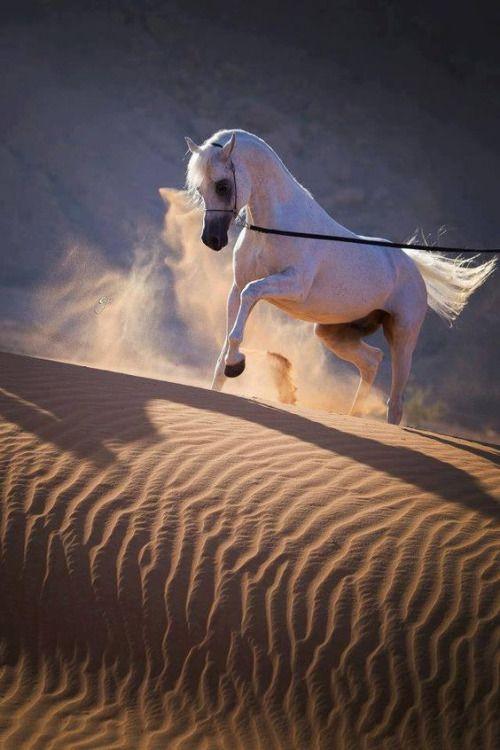 Gorgeous White Horse in the Desert