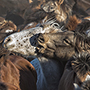 Mongolia Winter Festival Tour - Horse News