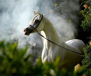 White Arabian Horse in the Misty Fog - Amazing picture of White Arabian Horse