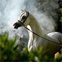 White Arabian Horse in the Misty Fog